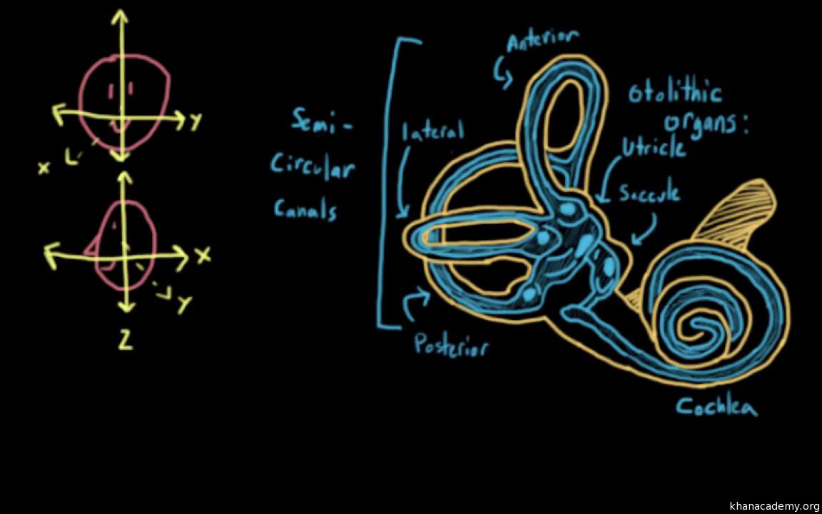 The vestibular system, balance, and dizziness (video)   Khan Academy
