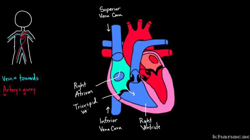 Flow Through The Heart Video Khan Academy