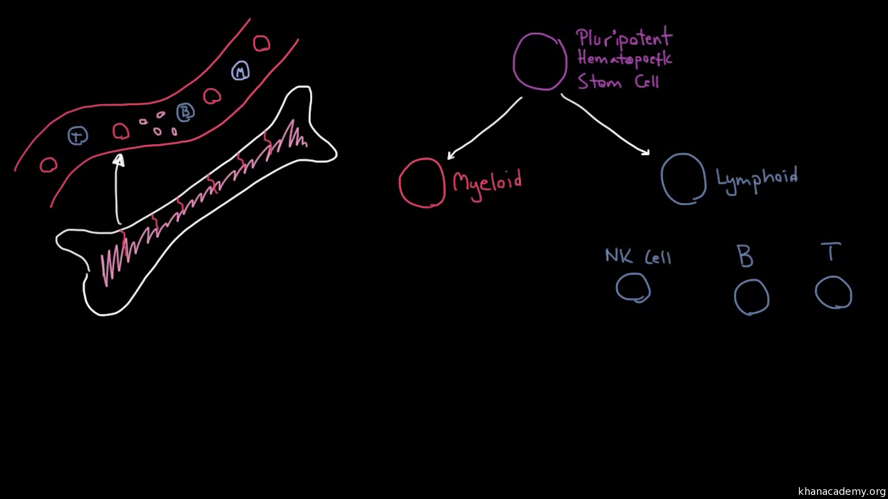 How White Blood Cells Move Around Video Khan Academy Cell Diagram For Kids Red