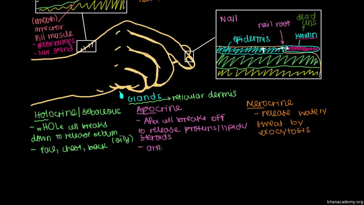 What Is Skin Epidermis Video Khan Academy