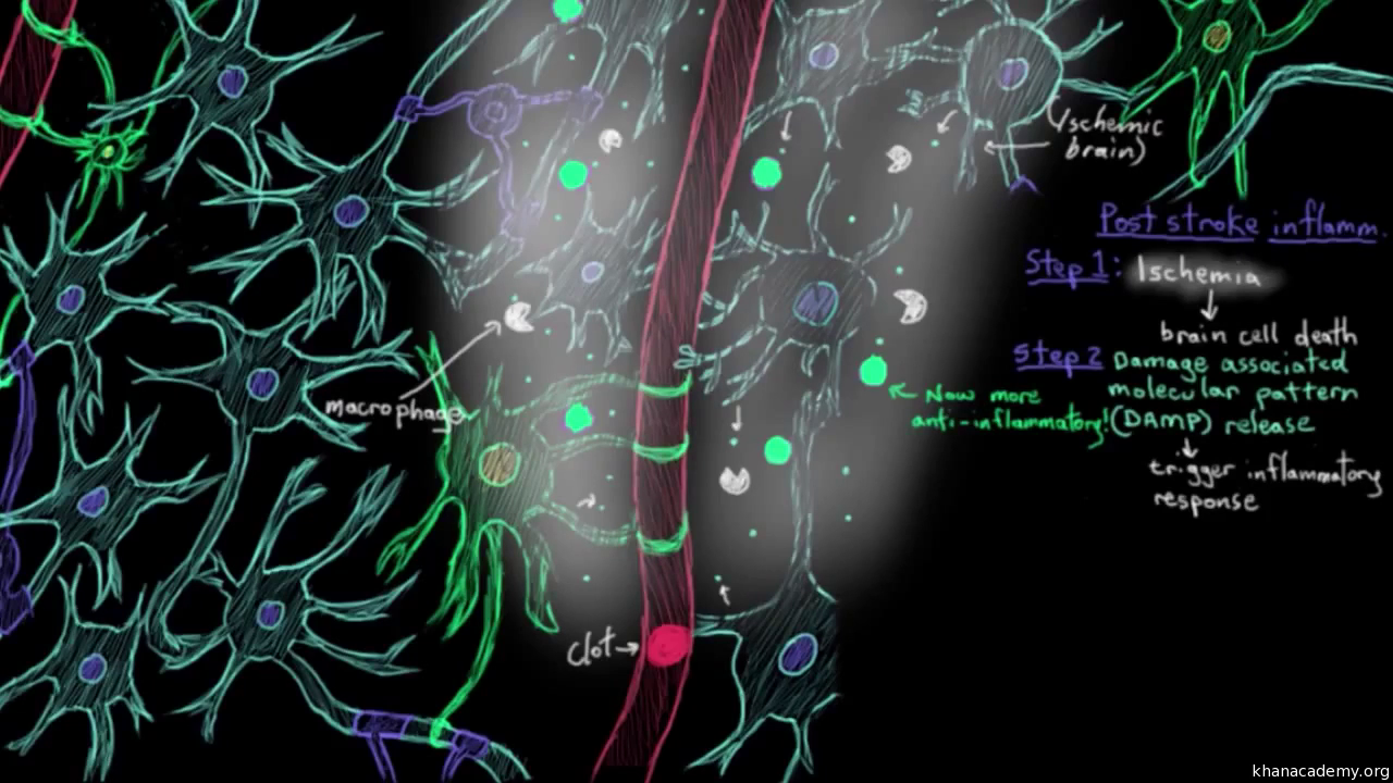 Cerebral blood supply part 1 video khan academy ccuart Image collections