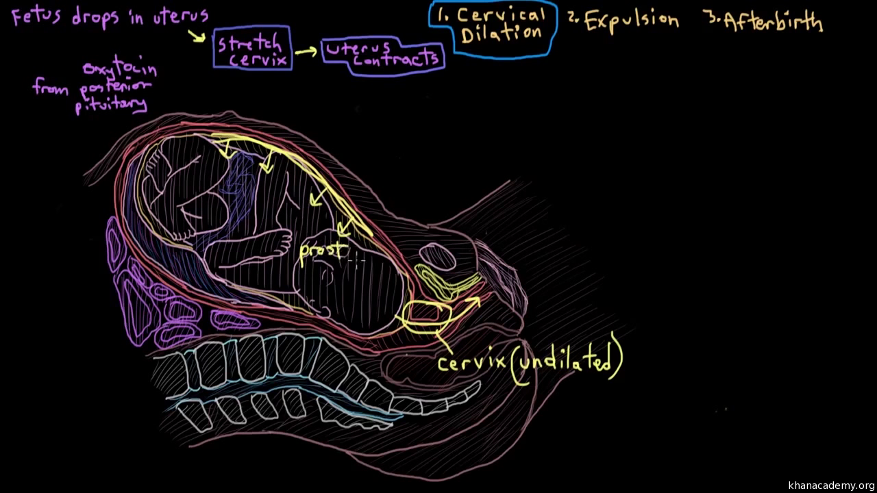 Anatomy Of The Male Reproductive System Video Khan Academy Cutaway Diagram Showing An Alkaline Battery 4
