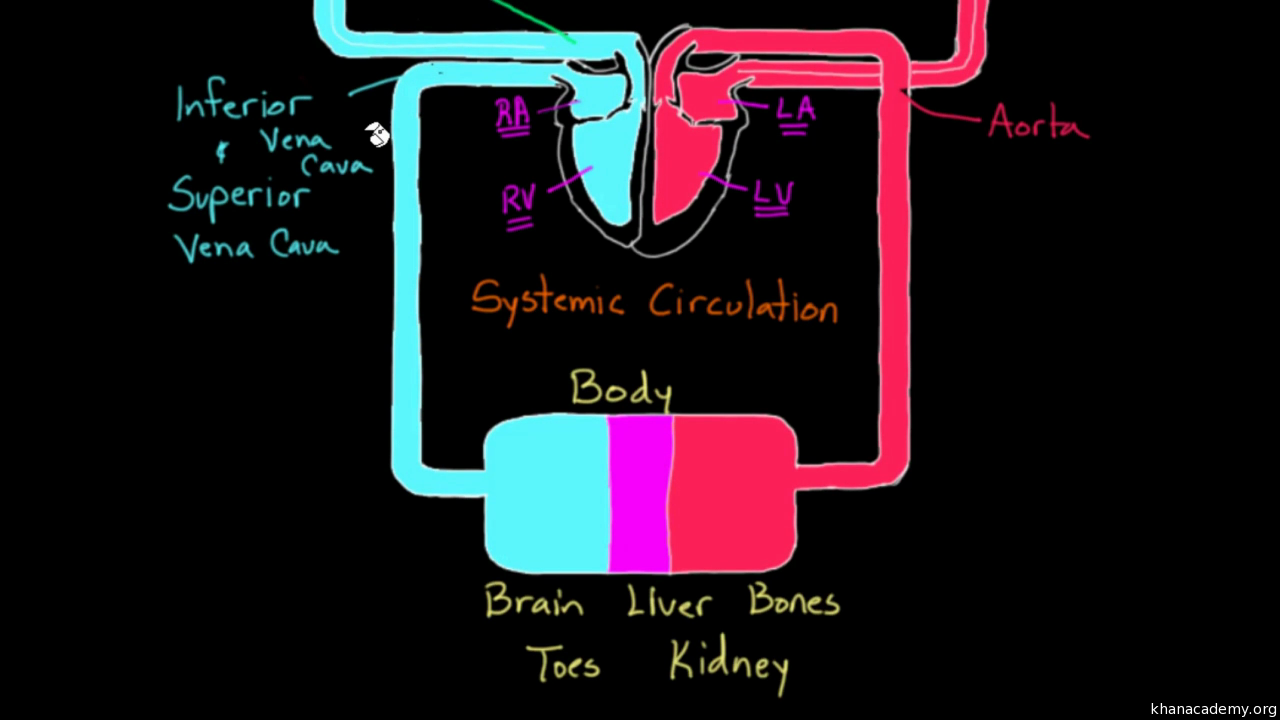 Flow through the heart video khan academy ccuart Choice Image