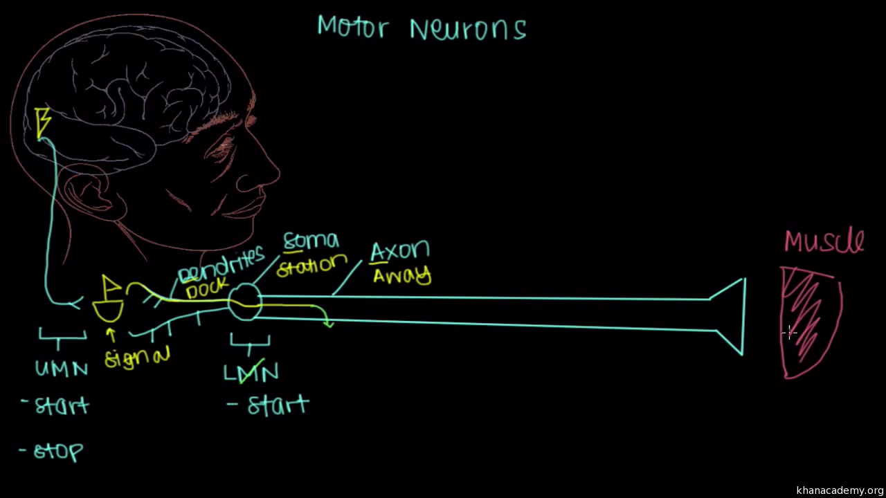 Motor neurons video khan academy ccuart Image collections