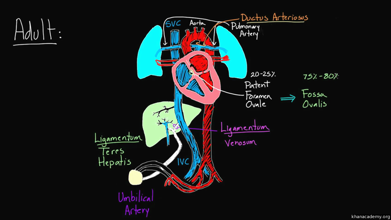Fetal circulation right before birth video khan academy nvjuhfo Gallery