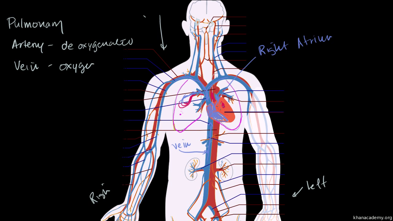 The Lungs And Pulmonary System Video Khan Academy Below Is A Diagram Of Inhalation Exhalation With Anatomical