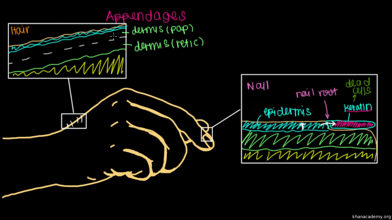 RD0waXH62AI where do our nails and hair come from? (video) khan academy