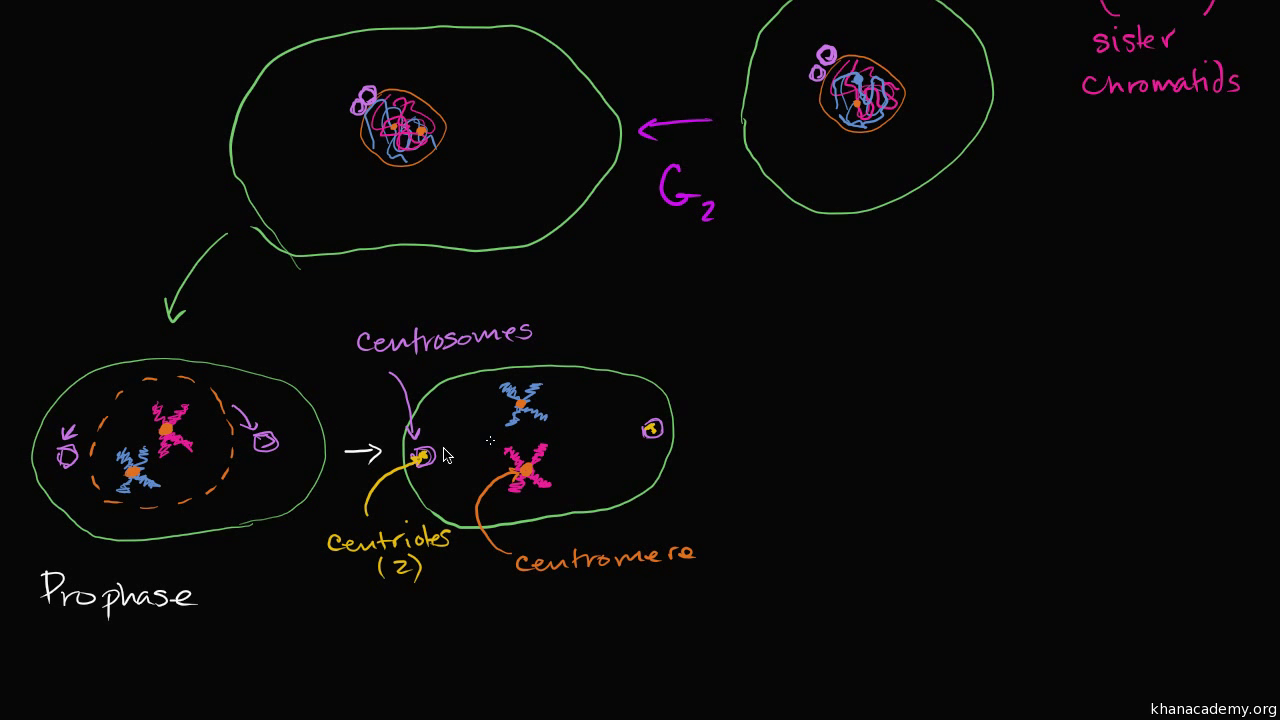 TKGcfbyFXsw mitosis (video) the cell cycle and mitosis khan academy