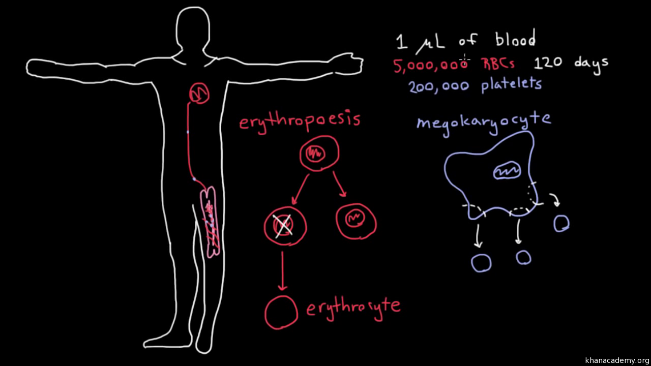 Whats Inside Of Blood Video Khan Academy White Cell Diagram For Kids Cells Red