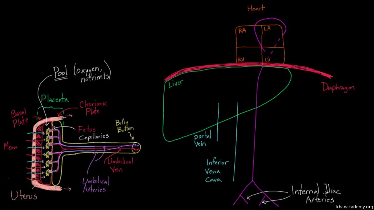 Fetal Circulation Right Before Birth Video Khan Academy Shw Me Transfer Case Diagram