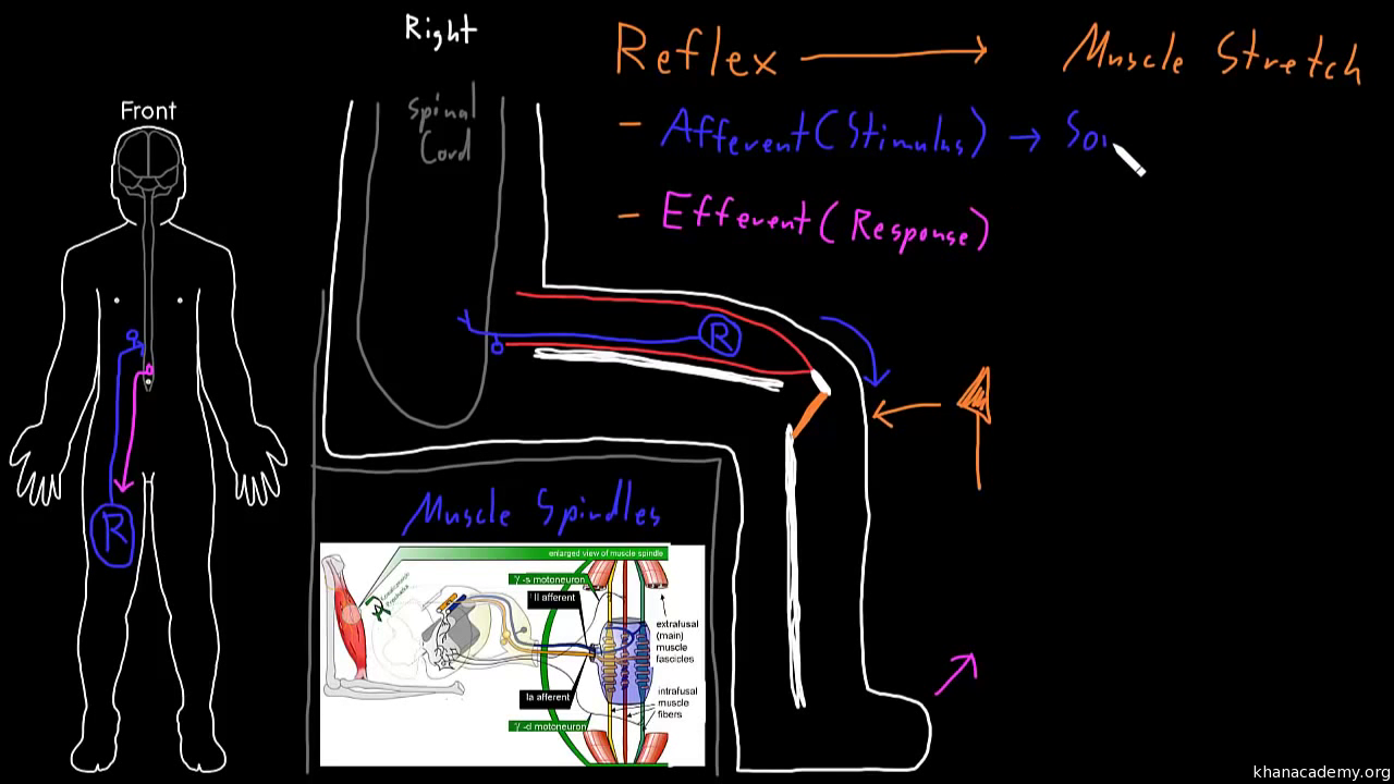 Cerebral cortex video khan academy ccuart Image collections