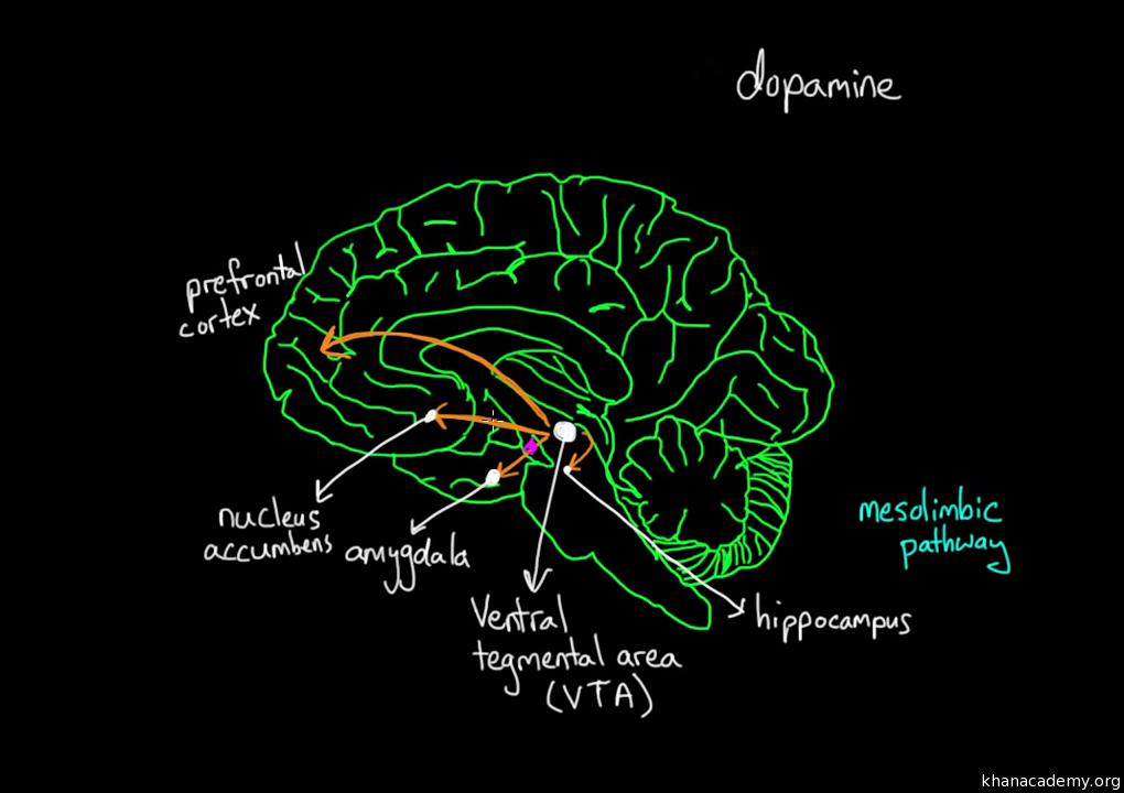 Reward pathway in the brain video khan academy ccuart Gallery