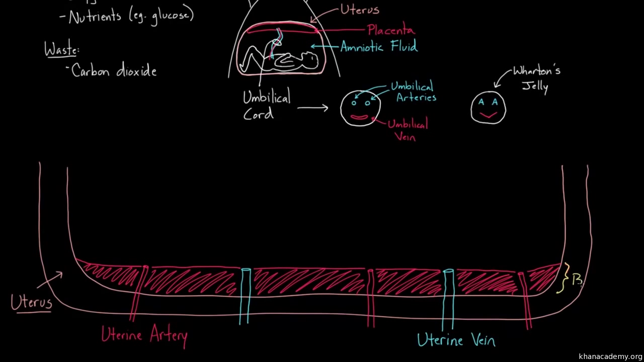 Fetal Circulation Right Before Birth Video Khan Academy Shw Me Transfer Case Diagram