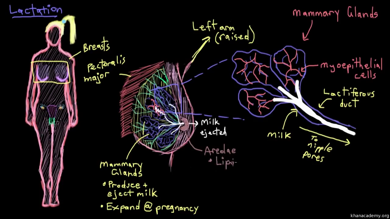 Breast anatomy and lactation (video) | Khan Academy