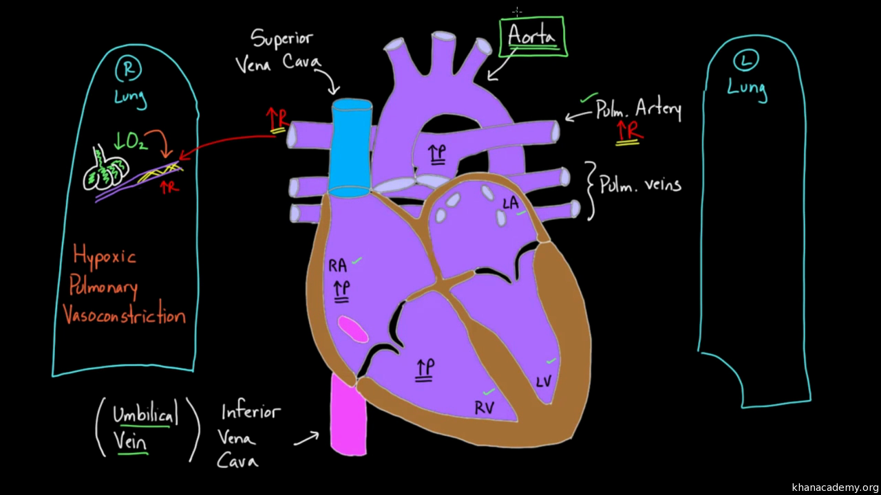 Umbilical vessels and the ductus venosus (video) | Khan Academy