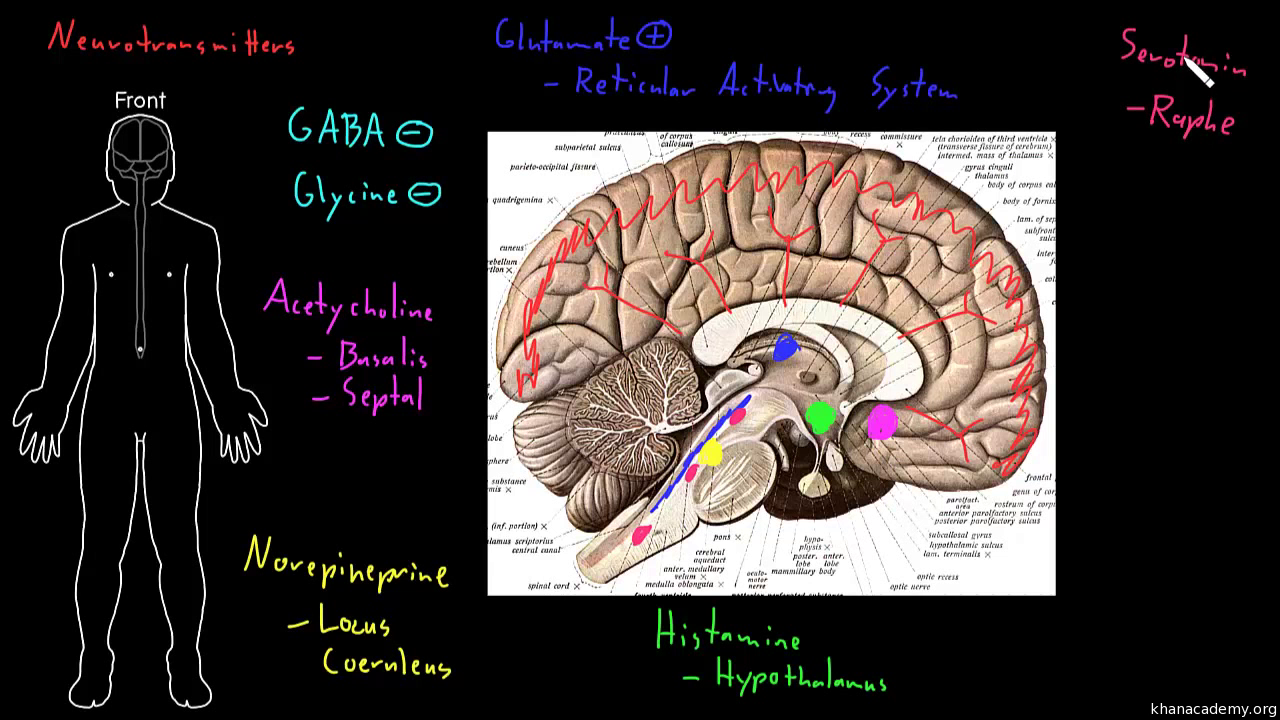 Cerebellum Video Behavior Khan Academy