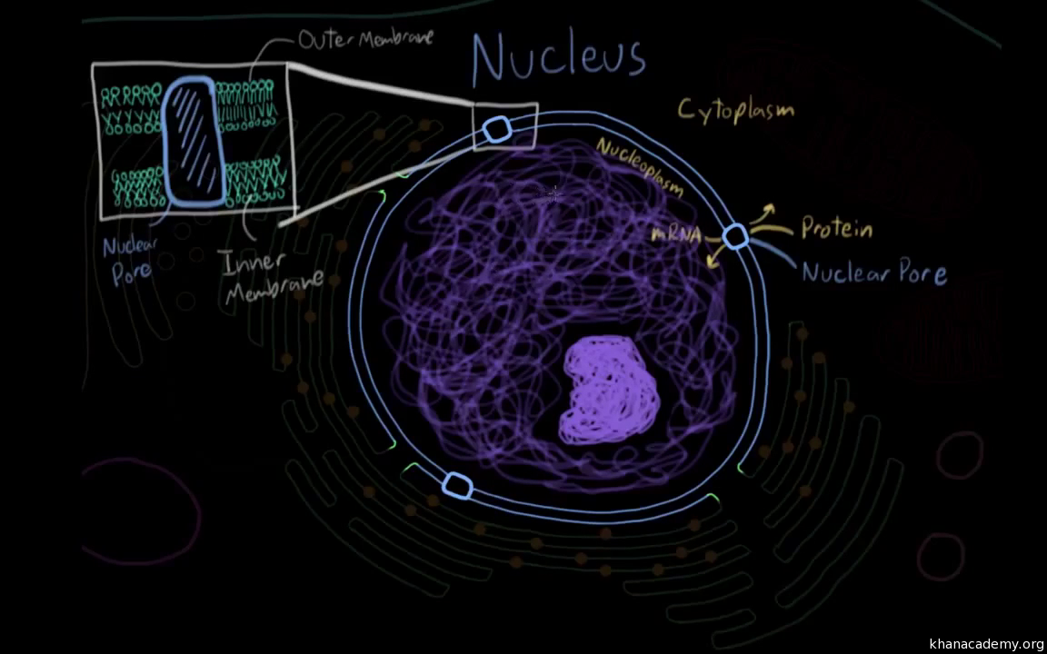 Cellular Organelles And Structure Article Khan Academy Well Human Cell Diagram Besides Full Body Of Muscles