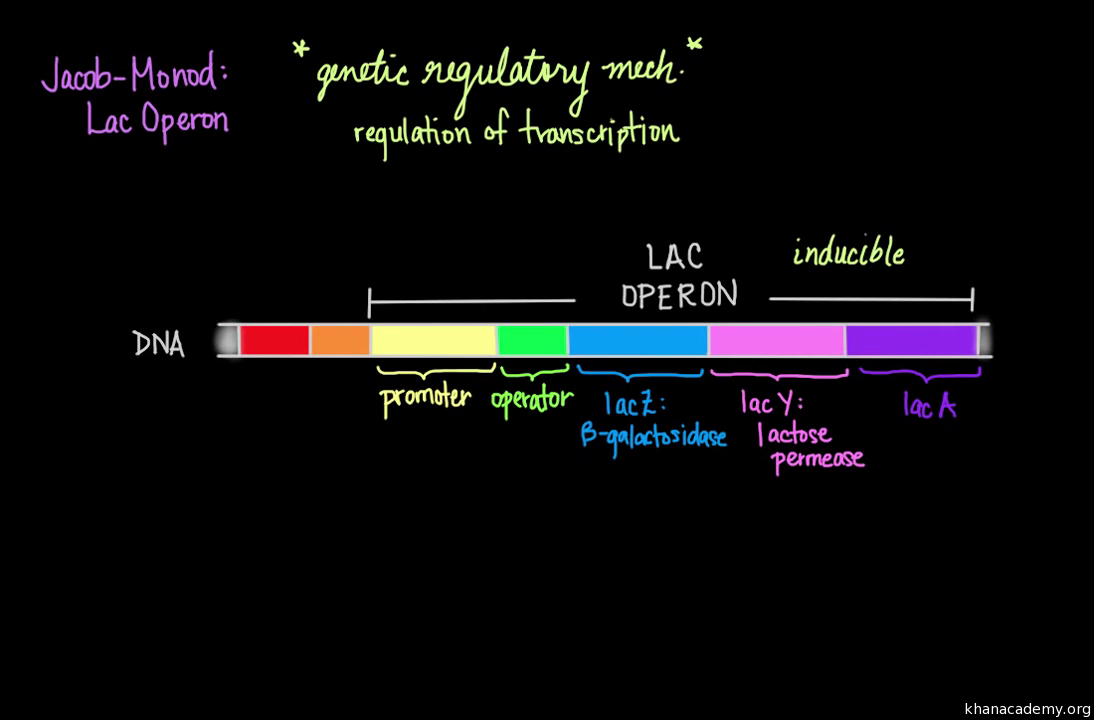 Regulation Of Transcription Video Khan Academy Basis Different Regulator Types Principles Genetic Circuit