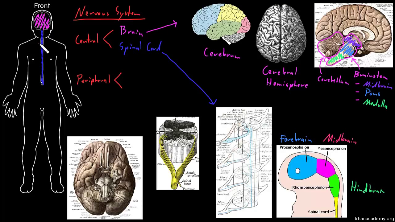 Gray and white matter video behavior khan academy ccuart Gallery