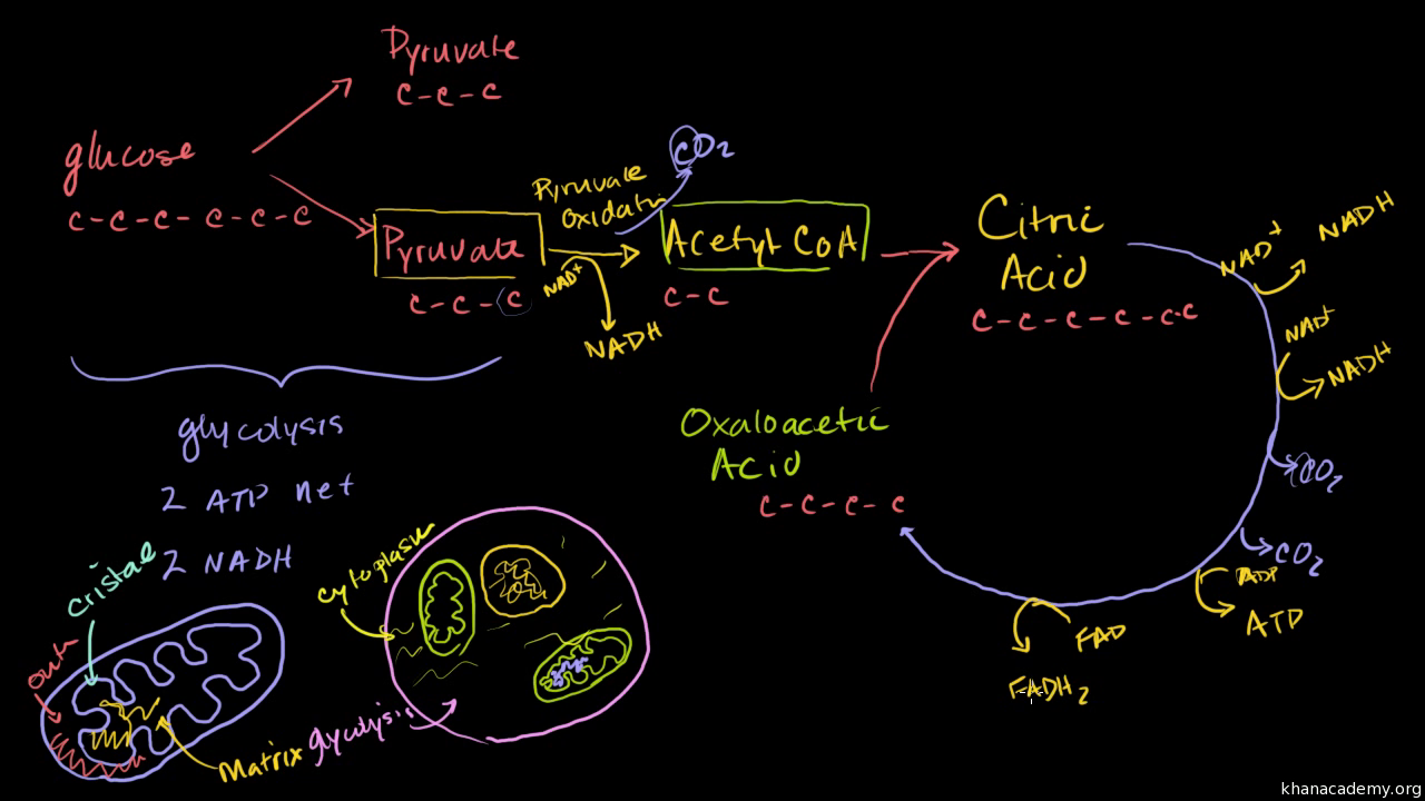 Cellular Respiration Biology Science Khan Academy Simple Plant Cell Diagram Labeled For Kids Animal And Cells