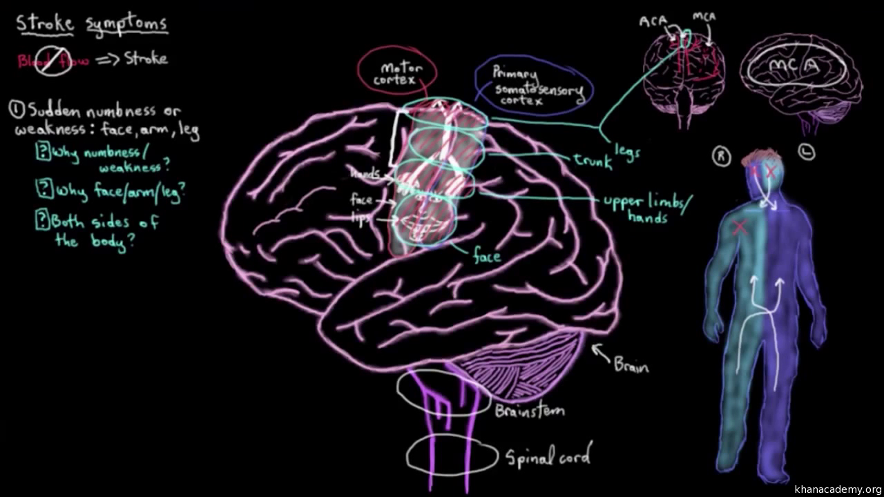 Cerebral blood supply: Part 1 (video) | Khan Academy