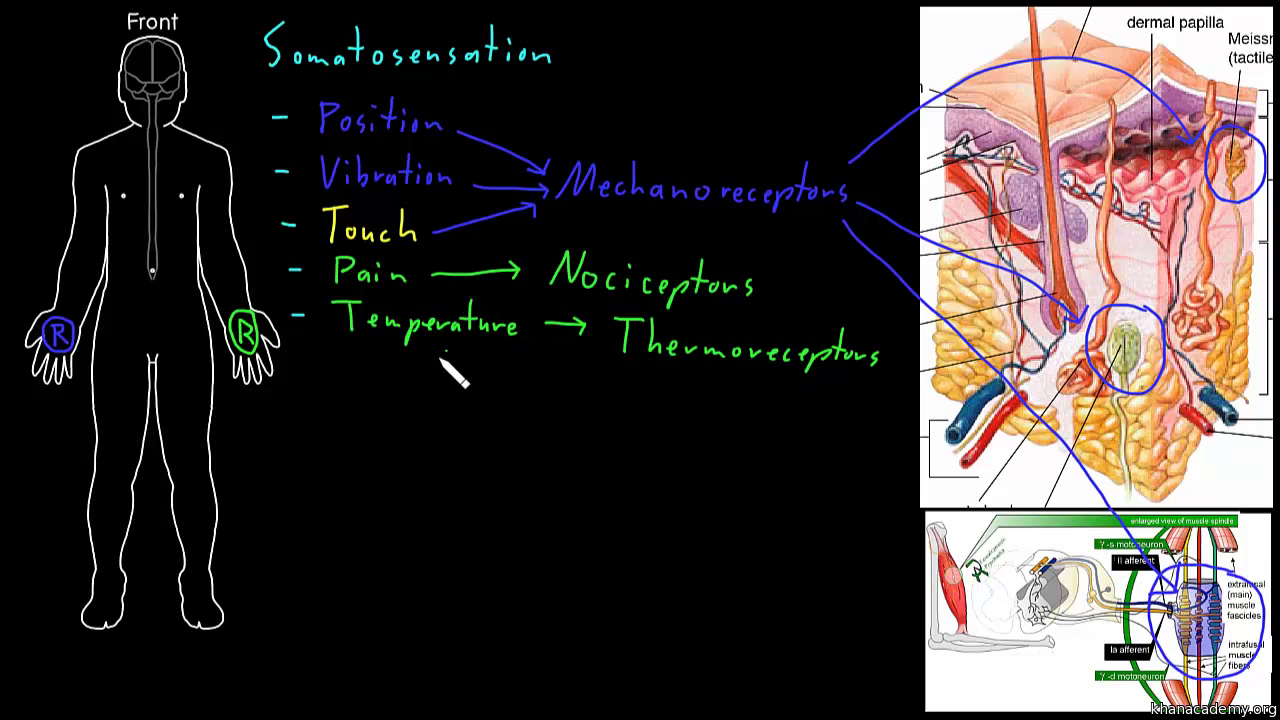 Types Of Neurotransmitters Video Khan Academy Simple Diagram The Human Brain Showing Its Primary Divisions