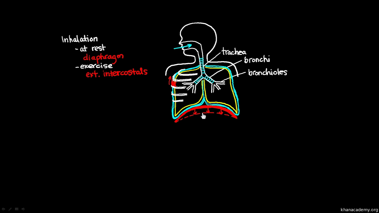 Breathing Basics Video Asthma Khan Academy Inhalation Exhalation Diagram Of Diaphragm