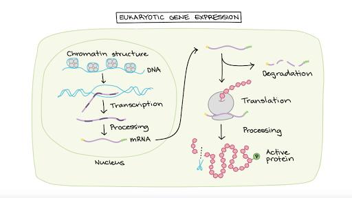 Overview Eukaryotic Gene Regulation Article Khan Academy
