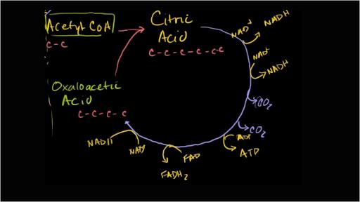 Krebs / citric acid cycle