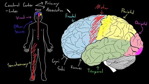 Cerebral cortex (video) | Khan Academy