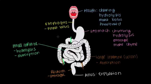 Meet the gastrointestinal tract! (video) | Khan Academy