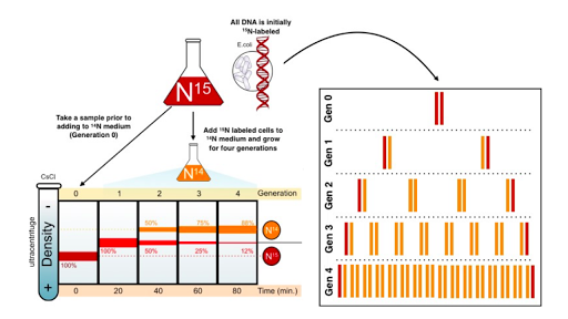 Mode of DNA replication: Meselson-Stahl experiment (article