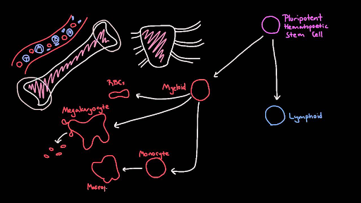 Blood cell lineages