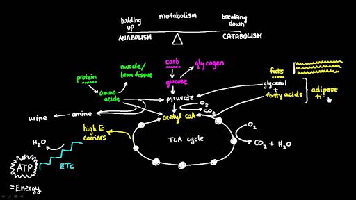 Basics Of Metabolism Video Khan Academy