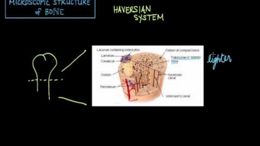 Microscopic structure of bone - the Haversian system (video ...
