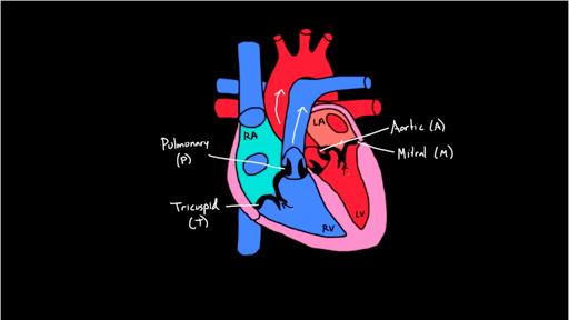 Flow through the heart video khan academy ccuart Images