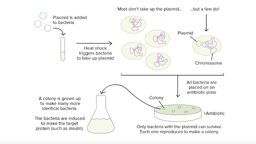 Prokaryotes reproduce asexually through the process of simple