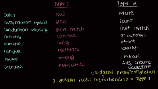 type 1 and type 2 muscle fibers (video) | khan academy, Muscles