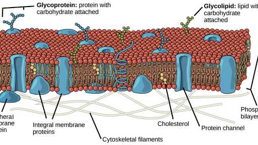 plasms membrane essay What does the plasma membrane do 1) encloses the cell 2) defines its boundaries 3) maintains the essential differences between the cytosol and extracellular environment.