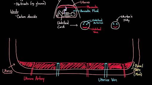 Meet The Placenta Video Khan Academy