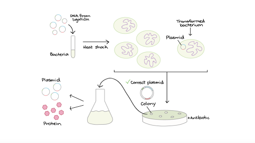 bacterial transformation steps