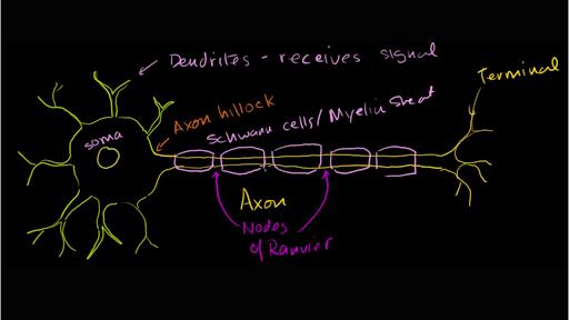 Anatomy of a neuron (video) | Khan Academy