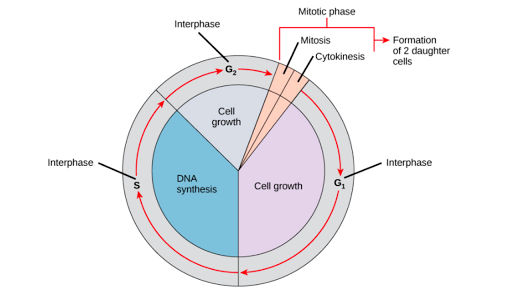 Phases Of Mitosis Mitosis Biology Article Khan Academy