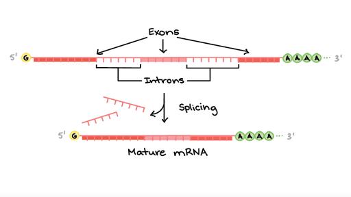 Eukaryotic Pre Mrna Processing Rna Splicing Article Khan Academy
