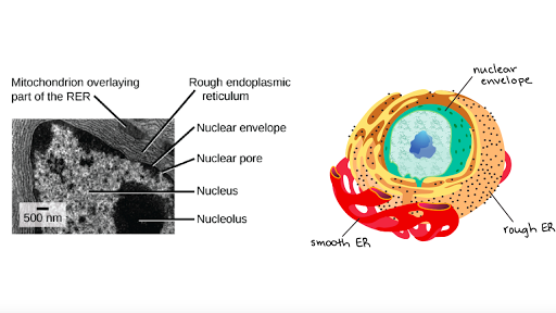 The Endomembrane System Article Khan Academy