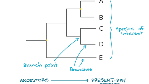 Phylogenetic trees | Evolutionary tree (article) | Khan Academy