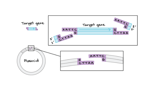Restriction Enzymes Dna Ligase Article Khan Academy