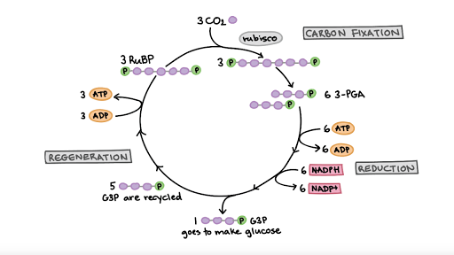 the calvin cycle  artikel