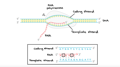 Stages of transcription article khan academy pronofoot35fo Image collections