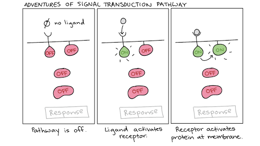 Signal transduction pathway | Cell signaling (article